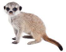 Meerkat zoo