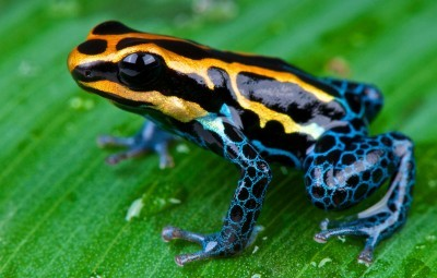 Poison_arrow_frog